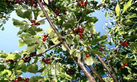 Calidad excepcional de la cereza del Jerte en 2012
