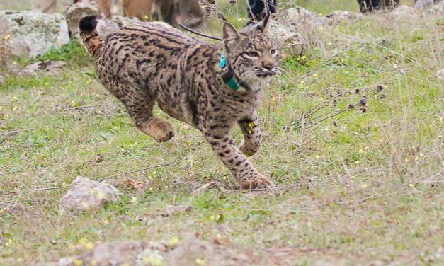 Ocho ejemplares de lince ibérico serán liberados a partir de febrero en el área de reintroducción del Matachel